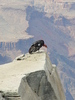 california condor 2: rare close up of a recently released california condor on a ledge in the grand canyon