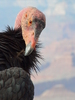 california condor 4: rare close up of a recently released california condor on a ledge in the grand canyon