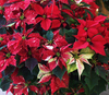 Poinsettias 2: Traditional red poinsettias with speckled and variegated varieties.