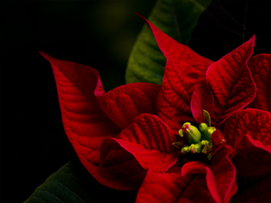 Red poinsettia: no description