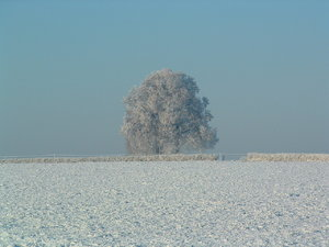 lonely tree in winter: no description