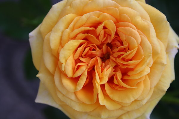 Orange rose: no description