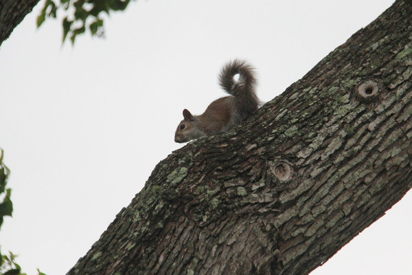 Squirrels Up a Texas Tree: One of 5 young squirrels being reared in a Texas tree.