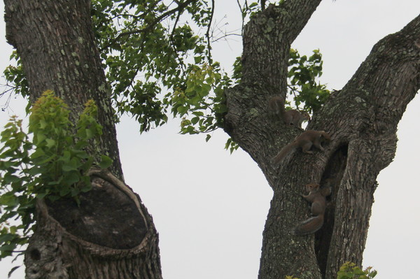 Texas Squirrels: Family of squirrels playing in old chinese tallow tree.