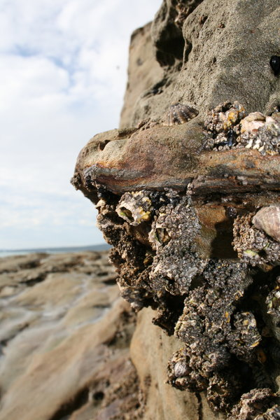 Barnacles 1: Taken on the north shore of Auckland. July 14th, 2007.