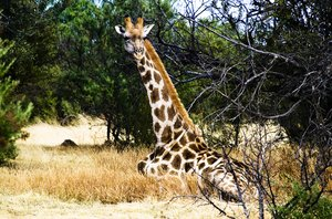 Giraffe: No description