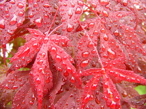 Washed Red: Red leaves on a rainy day