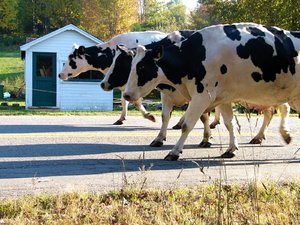 Road ... Hogs???: Milking cows cross the Gaspereau River in Gaspereau, Nova Scotia, Canada twice a day for milking just down the road