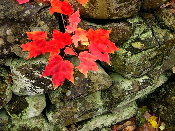 Beauty and Strength: Sugar Maples in the fall over an old stone wall in North Alton, Nova Scotia, Canada