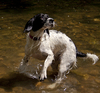 C'mon, throw the ball already!: The day Ruby the Springer Spaniel discovered water can be fun.