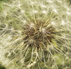 Dandelion Close-up: A close-up of a dandelion seed head.