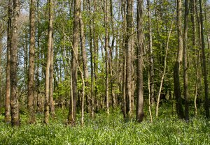 Birch and Meadow: Stand of trees and wildflower meadow in spring.  Image shot near Scorton, Lancashire.