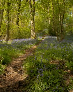 Bluebell Wood HDR: Sun dappled path leading through a bluebell wood.  5 image HDR shot in Brock Valley, Lancashire.