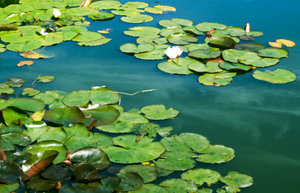 Water Lilies: Water lilies.