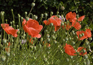 Poppies: Red poppies.