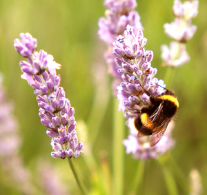 Bee on Lavender 5: A fuzzy bumblebee on Lavender.