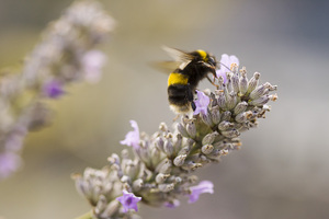 Bee and Lavender: A bee on lavender.
