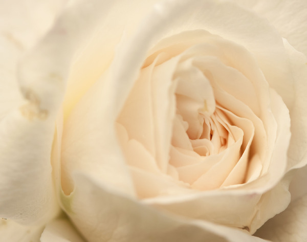 In My Garden 6: White Rose close-up.