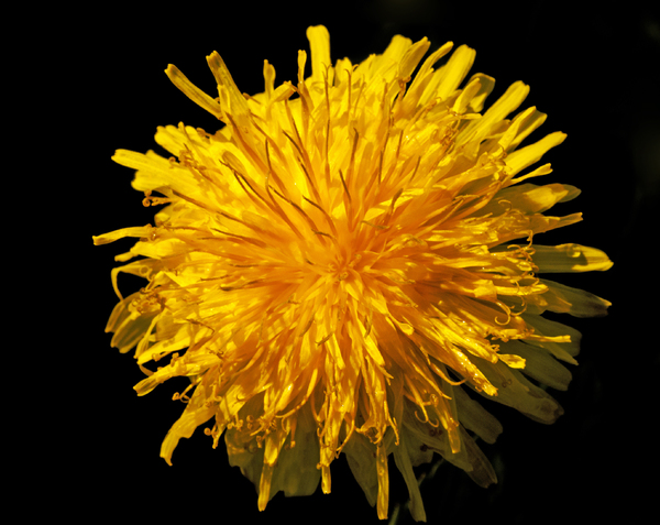 Dandelion Close-up: A golden dandelion flower.