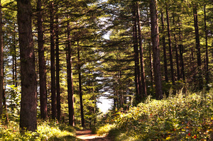 Fir forests: Fir forest in Mt. Hamback at KOREA