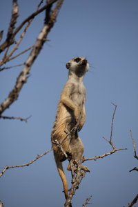 Meerkat Sentinel: A meerkat taking up sentinel duty in a dead tree in the Kalahari while the rest are foraging.
