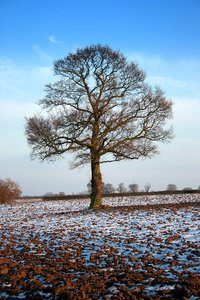Winter Tree: Winter tree in a field with a dusting of snow