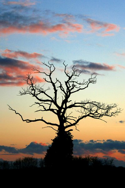 The Old Crow Tree: The Old Crow Tree at sunset