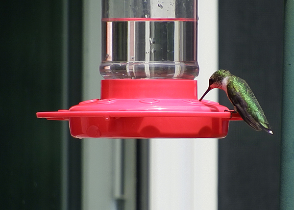 Hummingbird: A still capture of some video I was shooting of our hummingbird feeder one morning; here is a female Ruby-Throated Hummingbird.