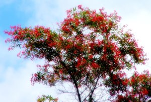 Flowering Tree: Tree covered in beautiful red flowers.