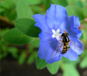 Hoverfly on Blue Flower: A black and yellow hoverfly feeding on a blue flower. Very pretty colours.