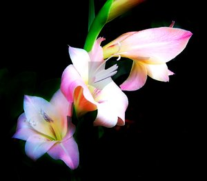Gladiolus Flowers: A stem of gladioli in delicate shades of pink and purple, with soft lighting, and a dark background.