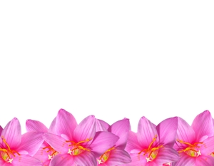 Natural Floral Border 4: A floral border of beautiful natural pink flowers. You may prefer:  http://www.rgbstock.com/photo/mVEl3Cw/Pretty+in+Pink+1  or:  http://www.rgbstock.com/photo/2dyVTby/Hibiscus+Border+1