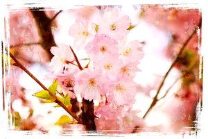 Cherry Blossom: An edited public domain image. My edited result is copyrighted to me. You may prefer:  http://www.rgbstock.com/photo/nMPddDw/Abstract+Spring+Flowers+2  or:  http://www.rgbstock.com/photo/mC2QC3O/Springtime+-+Watercolour