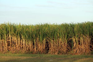 Sugar Cane Field: A sugar cane field in Queensland, Australia.