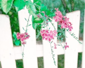 White Fence and Flowers 2: Colourful flowers on a white fence make a lovely image. You may prefer:  http://www.rgbstock.com/photo/2dyVs9x/Allamanda+-+Spring+Blooms  or:  http://www.rgbstock.com/photo/ojtbsVs/Tiny+Purple+Flowers