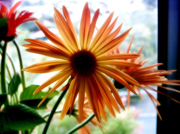 Yellow Gerbera: A beautiful yellow single gerbera against the light of a window.