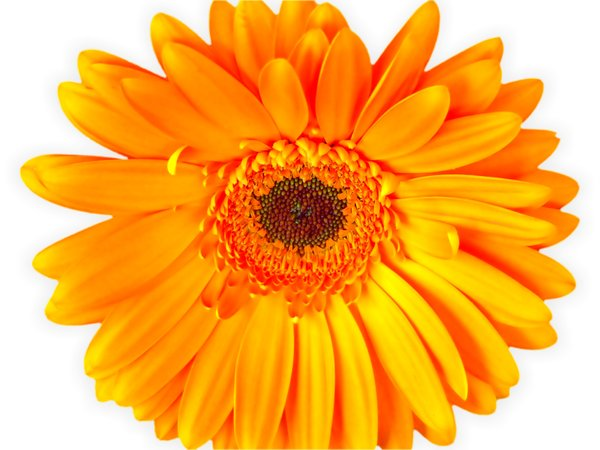 Gerbera Daisy Orange 4: Cut out gerbera head on a white background. Dazzling orange colour, and blemishes edited out.