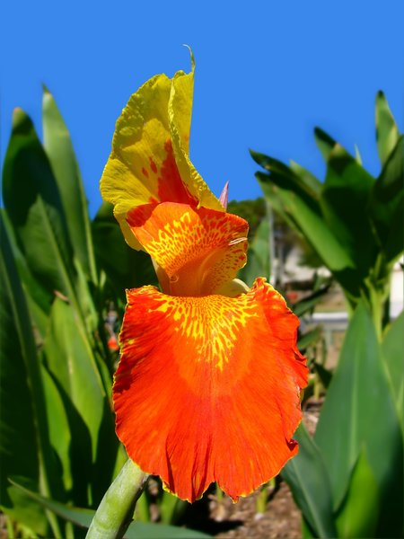 Canna: Red and yellow canna lily, from the genus Zingiberales. None of my images may be redistributed.