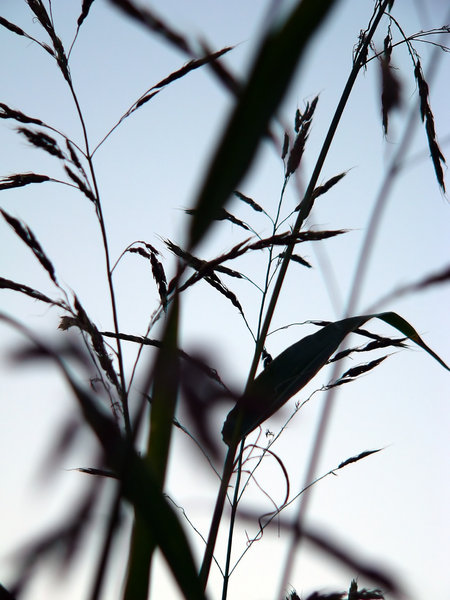 Sunset Sillhouettes 3:  Silhouetted grasses against a sunset sky. Has an oriental feeling.