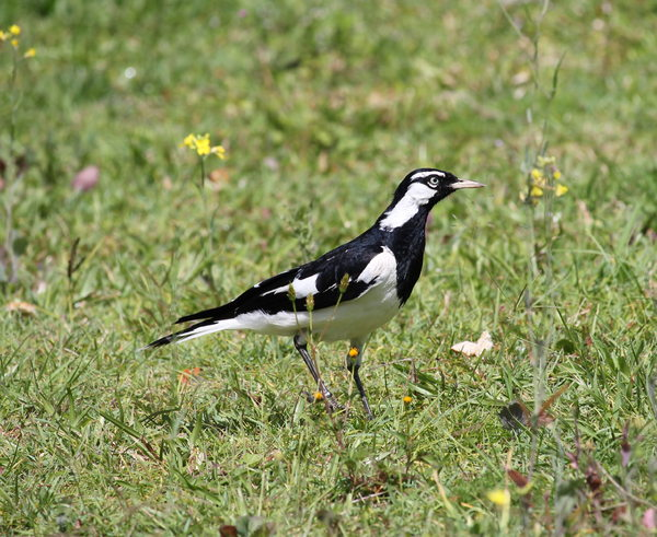 Peewee or Magpie Lark Male: Grallina cyanoleuca, a common bird all over Australia has a bell like and very loud call, and sings duets with its mate that sound like the one bird call. Mildly aggressive when nesting, but dainty and easily tamed. Males have a black throat.