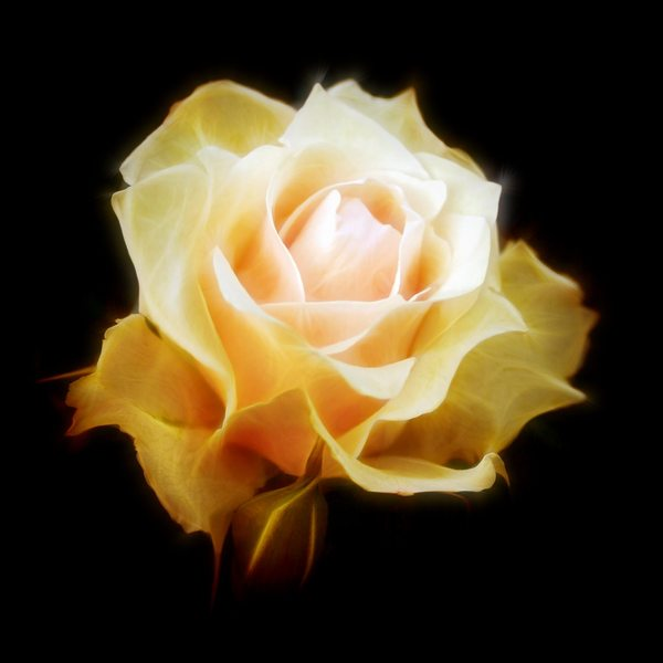 Rose Dream 3: A beautiful yellow rose with a fractal effect on a black background. You may prefer:  http://www.rgbstock.com/photo/2dyVpyq/Rose+Dream  or:  http://www.rgbstock.com/photo/oSOQ6fq/Rose+Dream+2