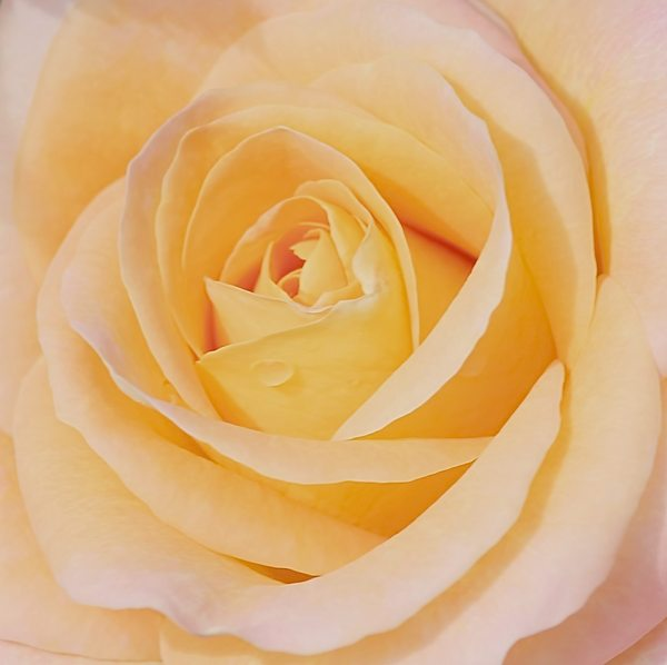 Rose Dream 7: An apricot and pink rose close up. You may prefer:  http://www.rgbstock.com/photo/2dyV6BP/Delicate+Miniature+Rose  or:  http://www.rgbstock.com/photo/p4qFeG8/Rose+Dream+4 Use within image licence or contact me.