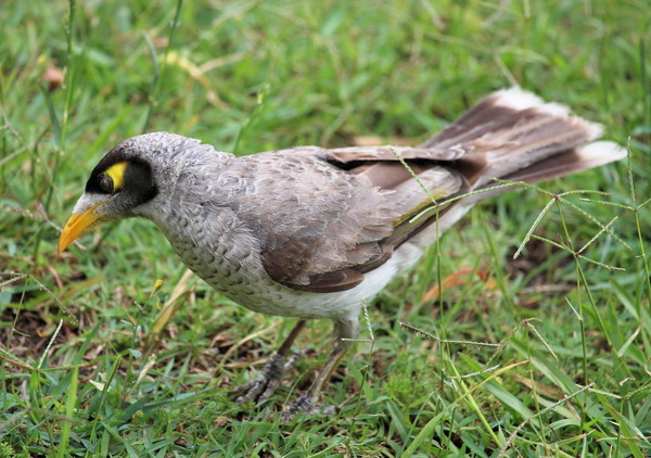 Noisy Miner 2: A native Australian bird - often confused with the introduced Indian Mynah. You may prefer:  http://www.rgbstock.com/photo/2dyVkZX/Noisy+Miner  or:  http://www.rgbstock.com/photo/p4J7JKo/Black-faced+Cuckoo+Shrike
