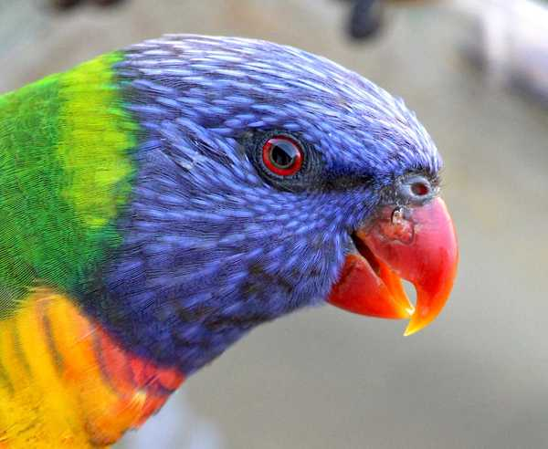 Rainbow Lorikeet Closeup 2: Head and face of a rainbow lorikeet. Use within image licence or contact me.