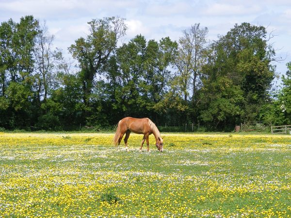 Horse in Meadow, Northamptonsh: Horse in a Meadow in Northamptonshire, England in early summer