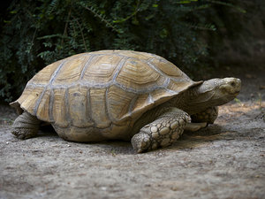 Giant turtle: Giant spurred terrestrial turtle in a zoo