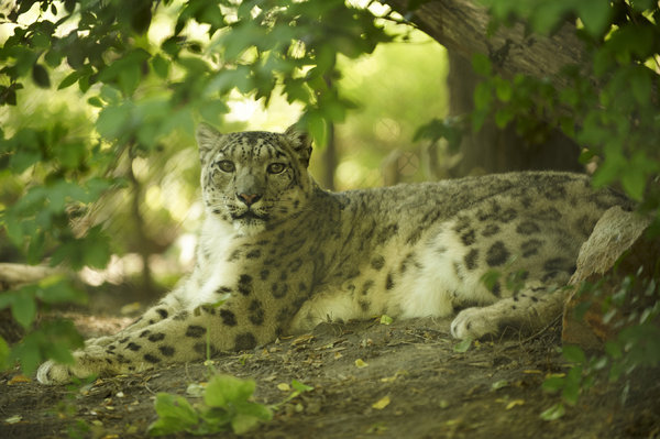 Snow leopard in the bush: Snow leopard resting in the bush, shadowed place