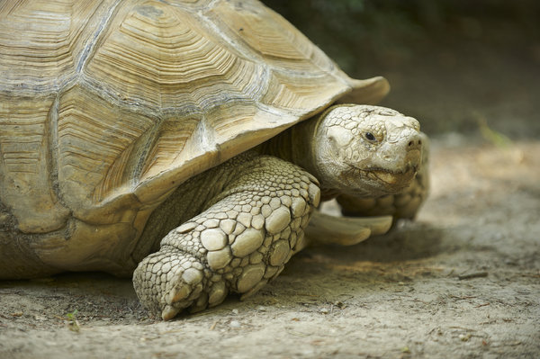 Giant turtle: giant spurred, terrestrial turtle