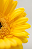 Flower abstract 1: Flower abstract Gerbera yellow