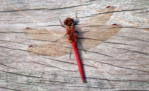 Red dragonfly: Red dragonfly resting on wooden background